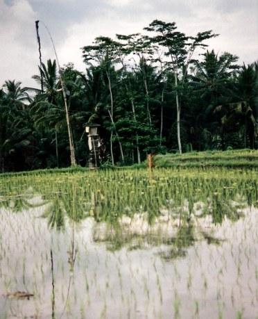 A Bali rice field shrine to Dewi Sri