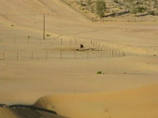 Abu Dhabi desert penned camel