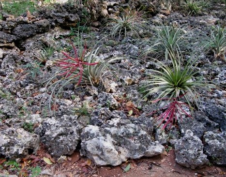 Air plants on lava rock Bay of Pigs Cuba