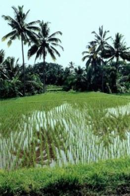 Bali rice paddy palm reflections