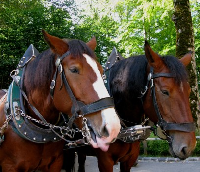 Bavarian coach horses at Neuschwanstein Castle Bavaria