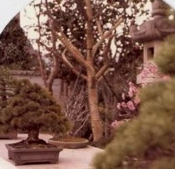 Bonsai and bound tree branches-Omiya Bonsai Village-Tokyo