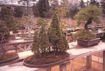 Bonsai conifer forest outside-Omiya Bonsai Village-Tokyo