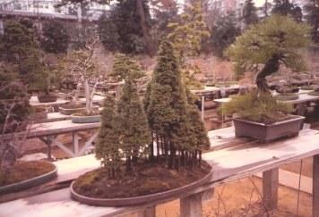 Bonsai conifer forest outside-Omiya Bonsai Village-Tokyo