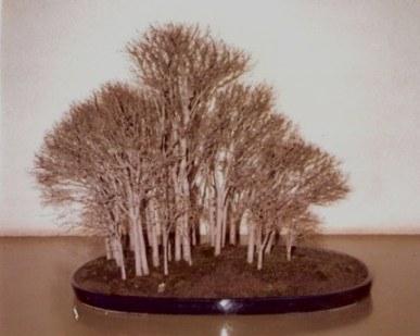 Bonsai silver birch forest-Omiya Bonsai Village-Tokyo