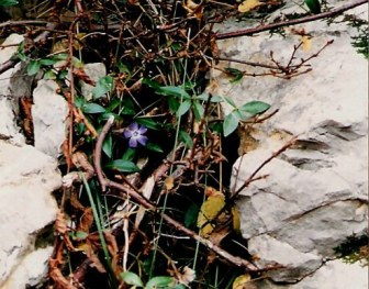 Brembilla Valley woodside flower