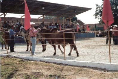 Bull judging – Agricultural Fair – Havana