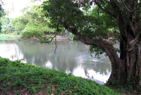 Ceiba tree alongside the Almendares River Cuba
