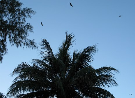 Circling buzzards Almendares Park Cuba