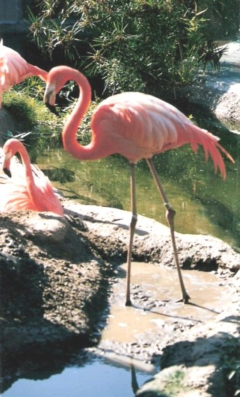 Flamingo at the Audubon Zoo New Orleans