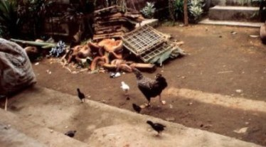 Fleeing chickens in Bali village