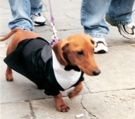 Formal dachshund at Krewe of Barkus Parade New Orleans