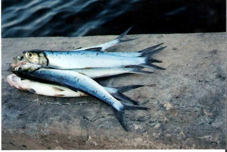 Havana-fish-caught-from-the-Malecon