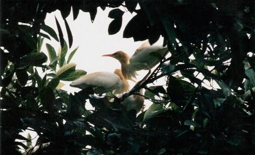 Heron spirits of Petulu Bali