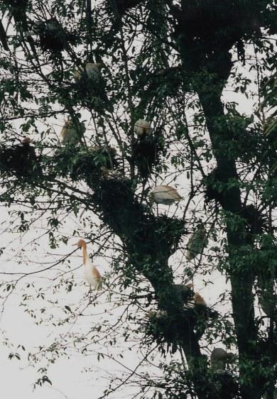 Herons in Petulu Bali
