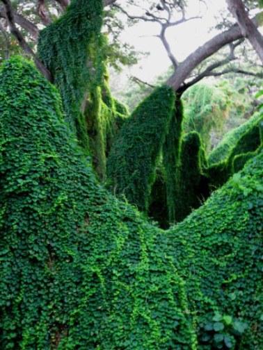 Ivy curtains Almendares Park Cuba