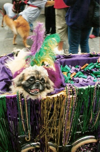 Mardi Gras bead hound at Krewe of Barkus Parade New Orleans