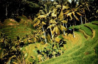 Mountain rice terraces and bananas in Bali