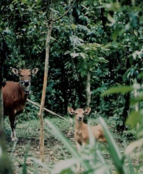 Native Bali cattle