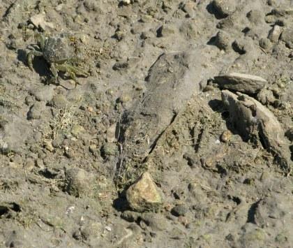 Île d'Oléron mud crab