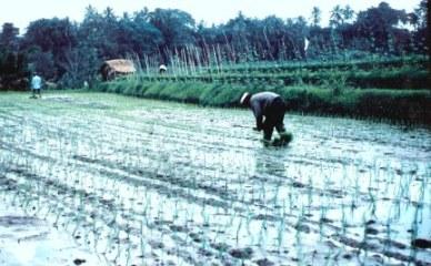Planting rice in Bali