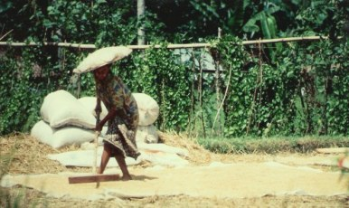 Raking grain to dry in Bali