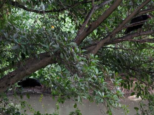 Roosting buzzards Almendares Park Cuba