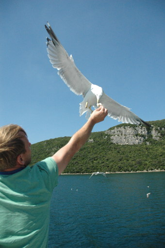 Seagull eating from hand on the fly