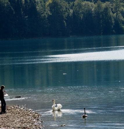 Swan and cygnet on Alpsee-Hohenschwangau-Bavaria