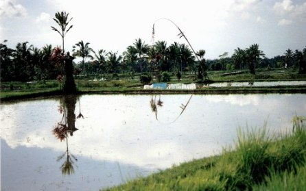 Symmetrical reflections in Bali rice paddy