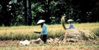 Threshing grain in Bali