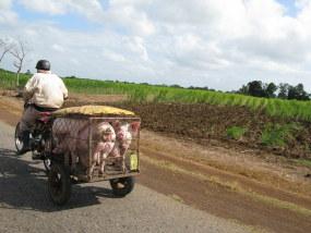Thumbnail: piggy carrier Cuba