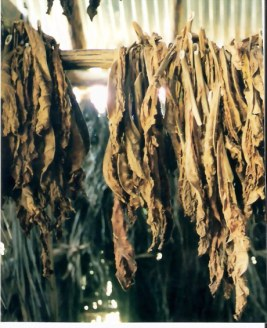 Tobacco drying - Viñales valley – Cuba