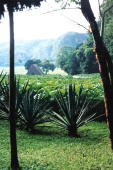 Tobacco field - Viñales valley - Cuba