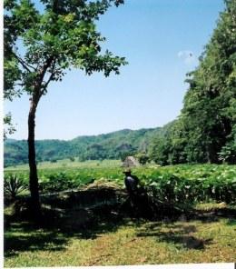Tobacco growing in Viñales valley - Cuba