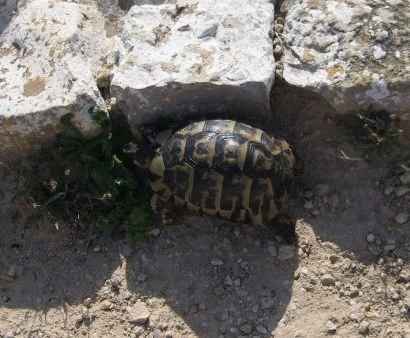 Tunisian tortoise against the ruins of Kerkouane
