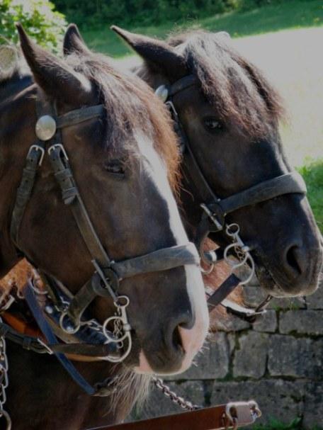 Two Bavarian coach horses Neuschwanstein Castle Bavaria