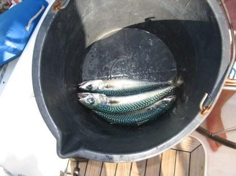 Freshly caught fish in Tunisia