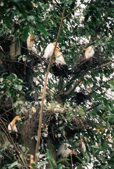 Herons in Petulu near Ubud Bali
