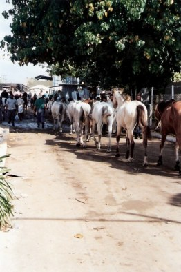 Horses linked by tails – Agricultural Fair – Havana