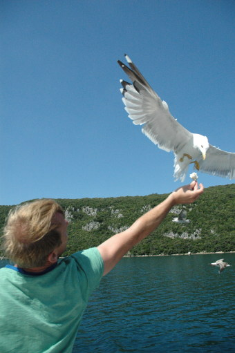 Seagull flying in at sea to eat from hand