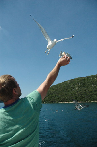 Seagull-flying-in-to-eat-from-hand